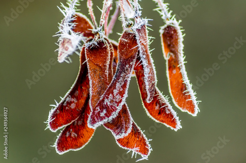 Frozen Maple Seed Pods