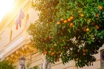 Clementine tree on the streets of Sorrento,Italy on december. Copy space