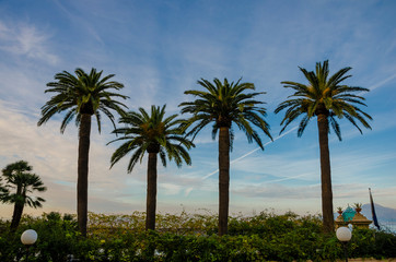 Four palm trees on sky background. Winter in Italy. Copy space.