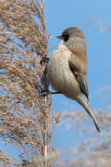 remiz pendulinus pendulum bird on reed