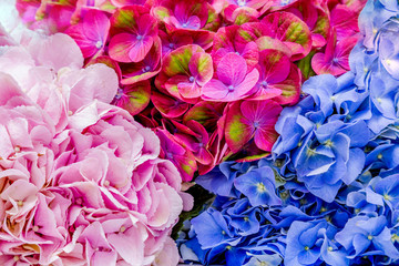 Wall Murals Hydrangea backgroud - 3 kind of Hortense; pink? blue and large deciduous chameleon