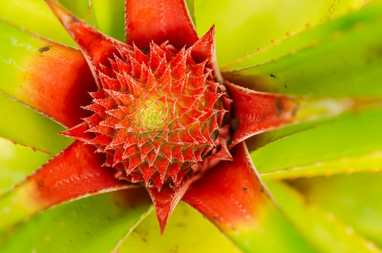 Pineapple Inflorescence Top View
