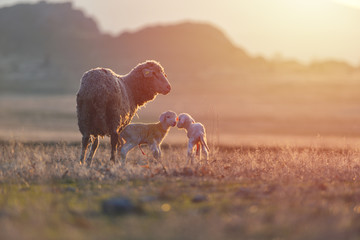 Two newborn lambs and sheep on field in warm sunset light