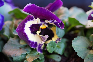 Foto auf AluDibond Blumenhändler Lente viooltjes bloemen planten