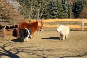 Shetland ponys in a park