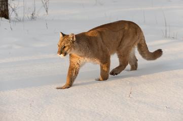 Adult Female Cougar (Puma concolor) Walks Left Through Snow Winter