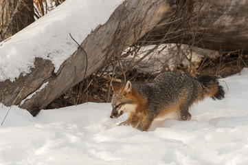 Wall Mural - Grey Fox (Urocyon cinereoargenteus) Roots in Snow Winter