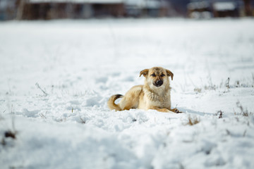 Portrait of dog over snow background. Yellow hair color.