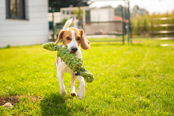 Beagle in garden running with toy