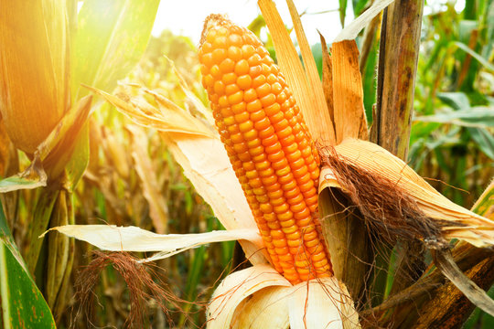 Ripe corn cob on tree wait for harvest in corn field agriculture