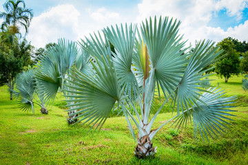 palm trees in the park / tropical plant palm garden and blue sky on bright