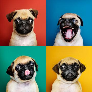 Portrait set of an adorable pug puppy