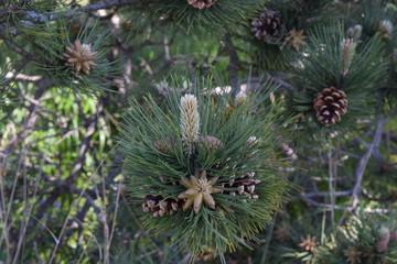 closeup of pine tree