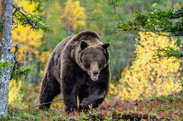 Brown bear in the autumn forest.  Scientific name: Ursus arctos. Natural habitat.