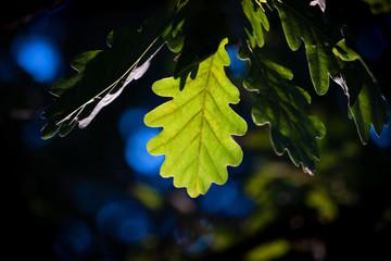 Oak leaf lit by ray of sunlight