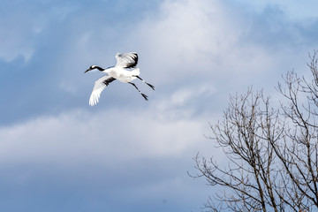 The Red-crowned Crane