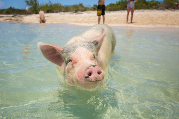 Excursion to the island Pig Beach. Pigs in the Atlantic Ocean. Bahamas. USA.