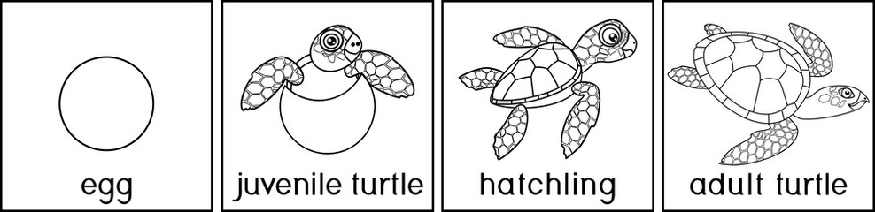 Coloring page with life cycle of sea turtle. Sequence of stages of development of turtle from egg to adult animal