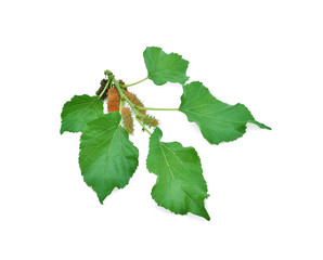 Mulberry with leaf isolated on white