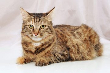 A big fluffy, purebred, red cat on a light background.