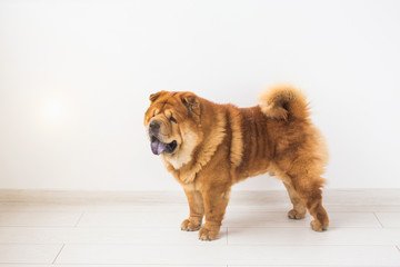 Pet and animal concept - studio portrait of the chow-chow dog over white background with copy space