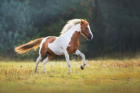Piebald  horse run gallop on meadow
