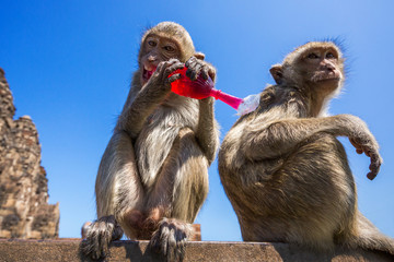 Monkey eating sweet red water.