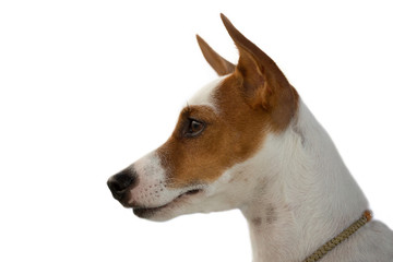 Jack Russell Terrier face on a white background.