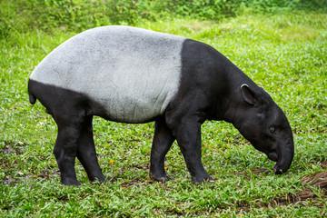 Malayan Tapir (Tapirus indicus) resting on the grass.