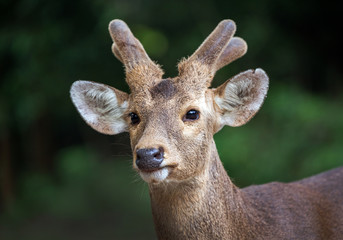 Face of Asian deer in the forest.
