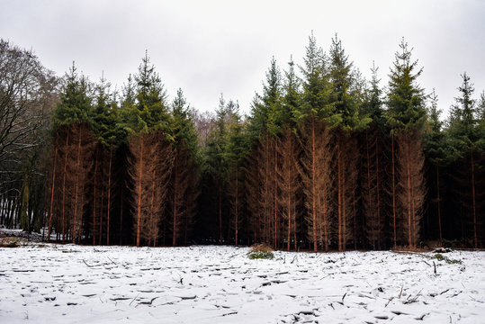 Pine forest in winter, landscape of brown-green trees.