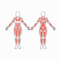 Female body muscles vector