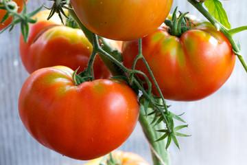 Macro shot on meat tomatoes growing isolated . Garden background.