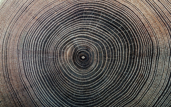 rings texture of cork  tree