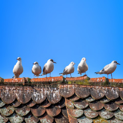 six seagulls on the roof