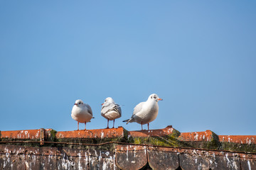 three seagulls on the roof