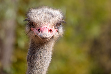 Portrait of an ostrich in the park