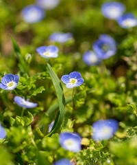 Little blue flowers on the grass in nature