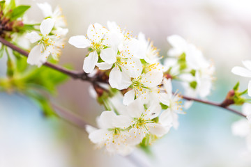 Flowers on the branches of cherry in spring