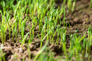 Green leaves of small plants in the ground in spring