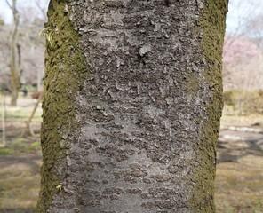 関山の樹皮