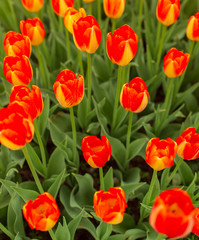 Red tulips in the park as background