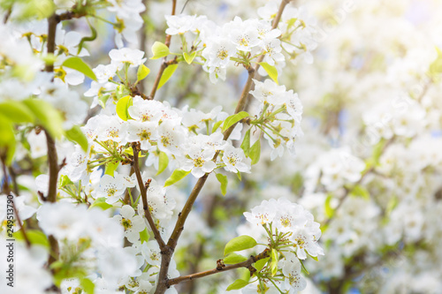 Closeup Of The Pear Blossom Japanese Spring Scenics Spring Flowers