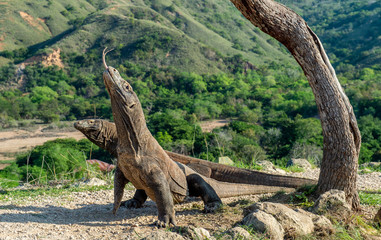 Komodo dragons. The Komodo dragon raised his head and sniffs the air. Scientific name: Varanus komodoensis. Natural habitat. It is the biggest living lizard in the world. On island Rinca. Indonesia.