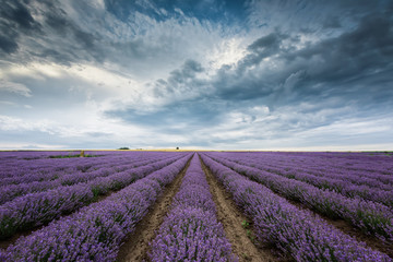 Lavender field before storm