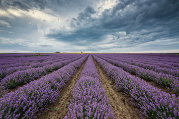 Lavender field before storm / Stunning view with lavender field and heavy clouds hanging over it