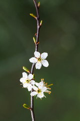 Stamens Still Life / Stamina of small white blossoms at spring (copy space)