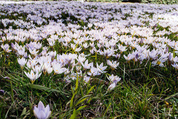 Crocus field in the middle of the city, Brescia Italy
