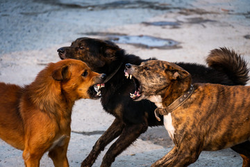 Three dogs are fighting