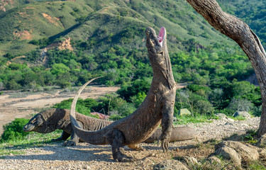 Komodo dragons.The Komodo dragon  stands on its hind legs and open mouth.  Scientific name: Varanus komodoensis. It is the biggest living lizard in the world. On island Rinca. Indonesia.